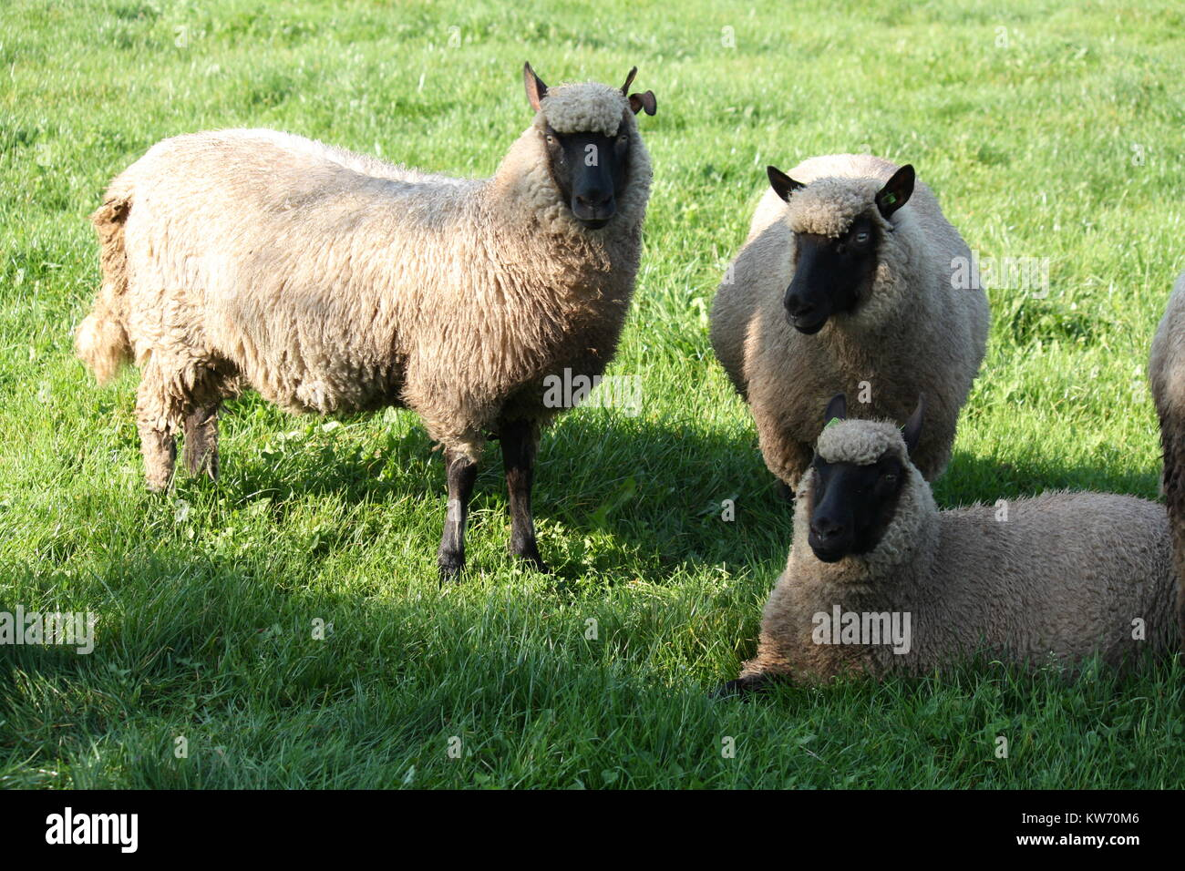 Dutch white sheep with a black face in the grass Stock Photo ... for Sheep Face Black And White  588gtk