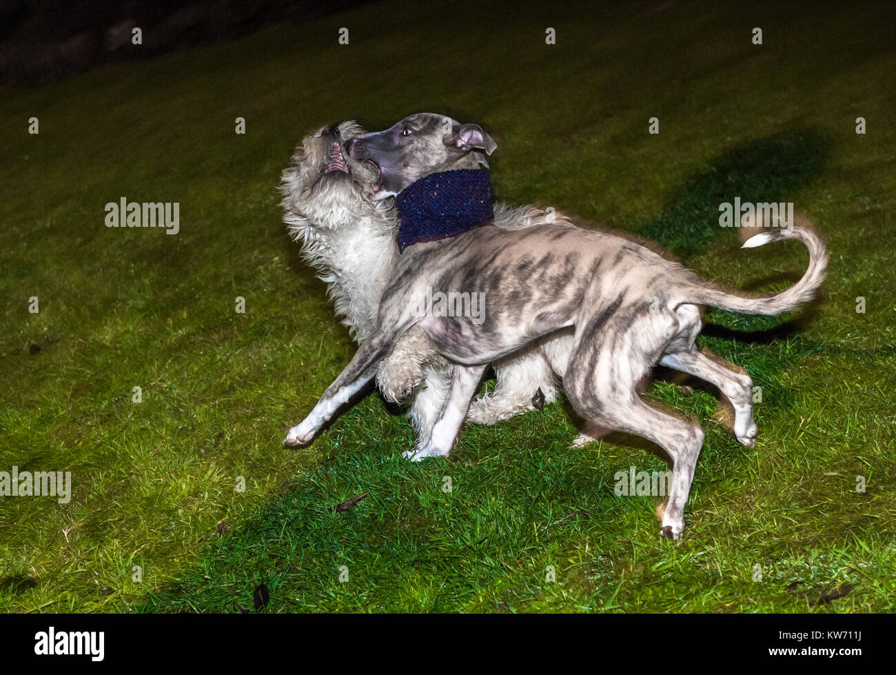 Whippet and Cockerpoo puppies play fighting. Stock Photo