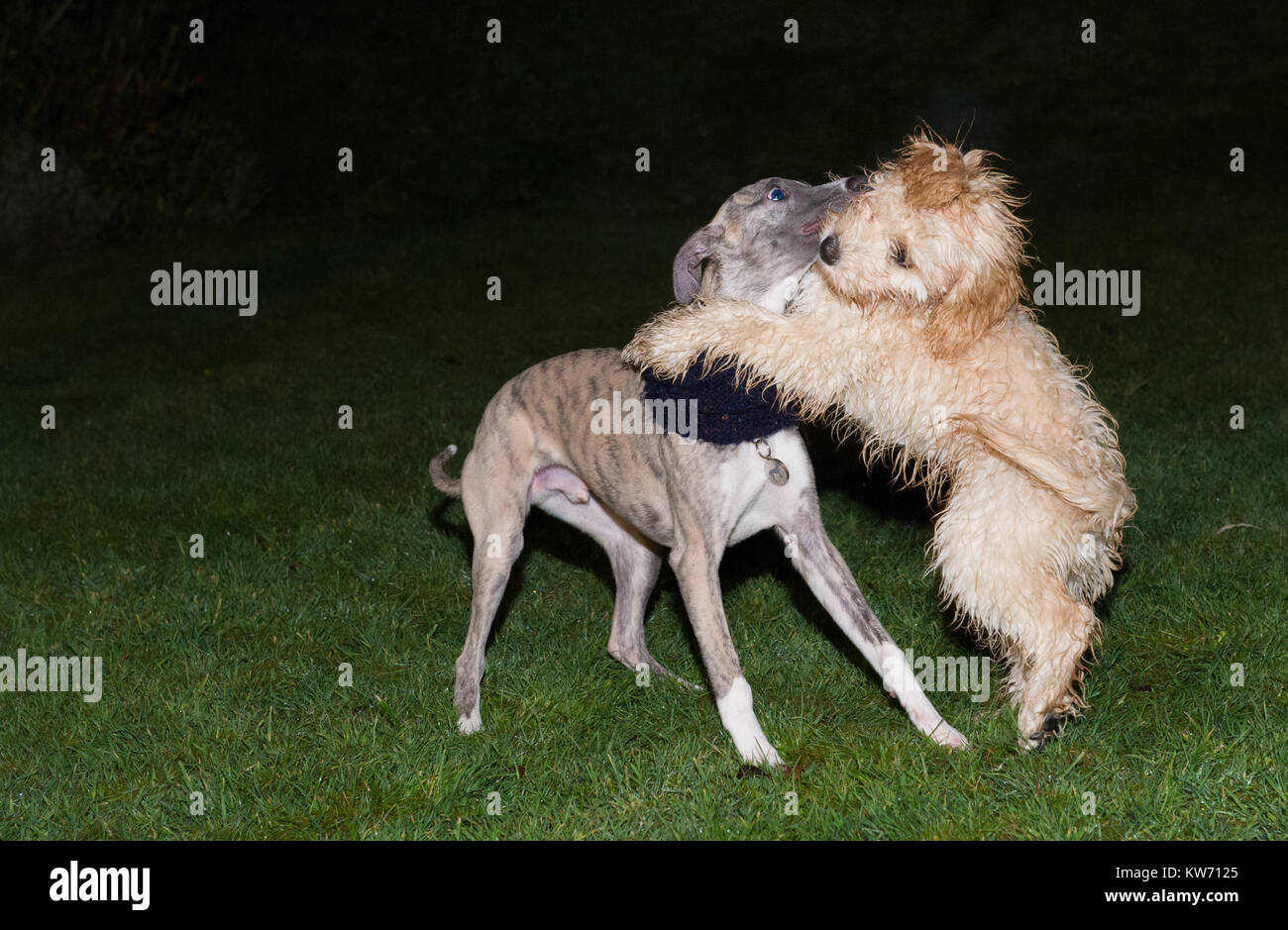 Whippet and Cockerpoo puppies play fighting. - Stock Image