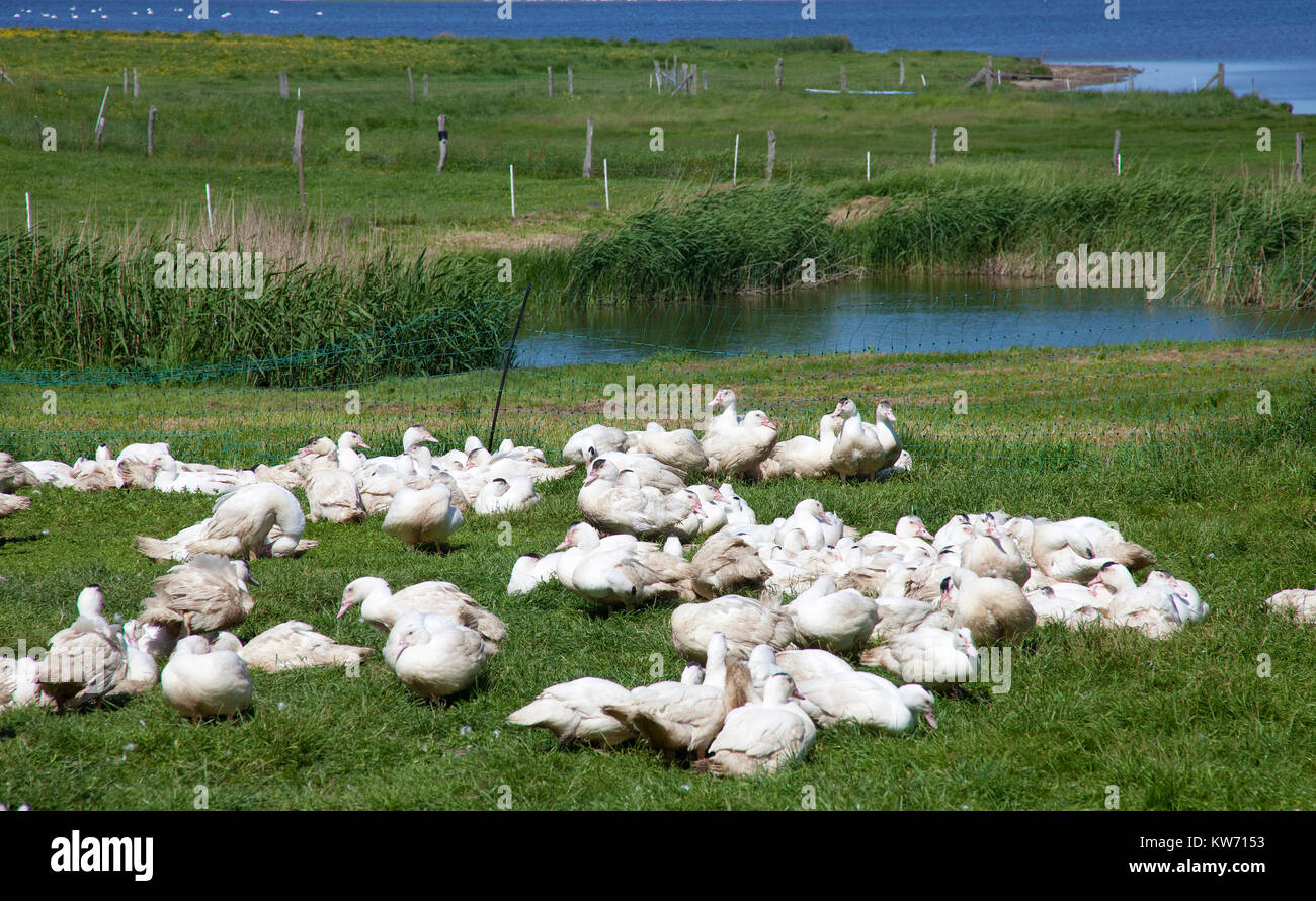 Gooses, poultry farm at the village Mursewiek, Ummanz, Ruegen island, Mecklenburg-Western Pomerania, Baltic Sea, - Stock Image