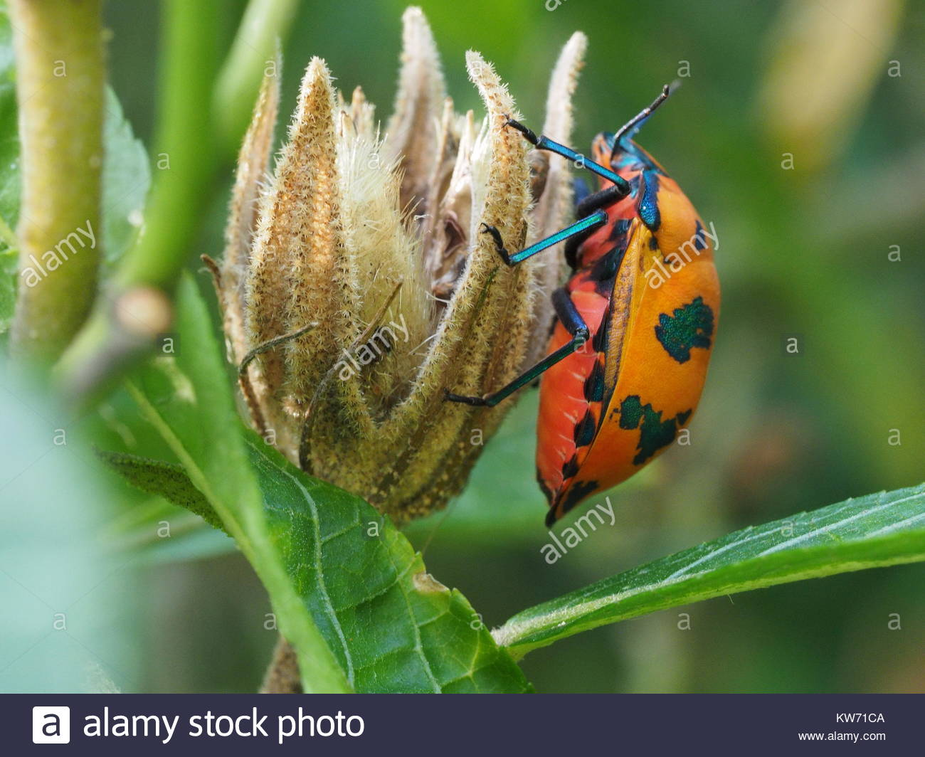 Coloutful Bugs In A Hibiscus Tree Stock Photo 170414506 Alamy