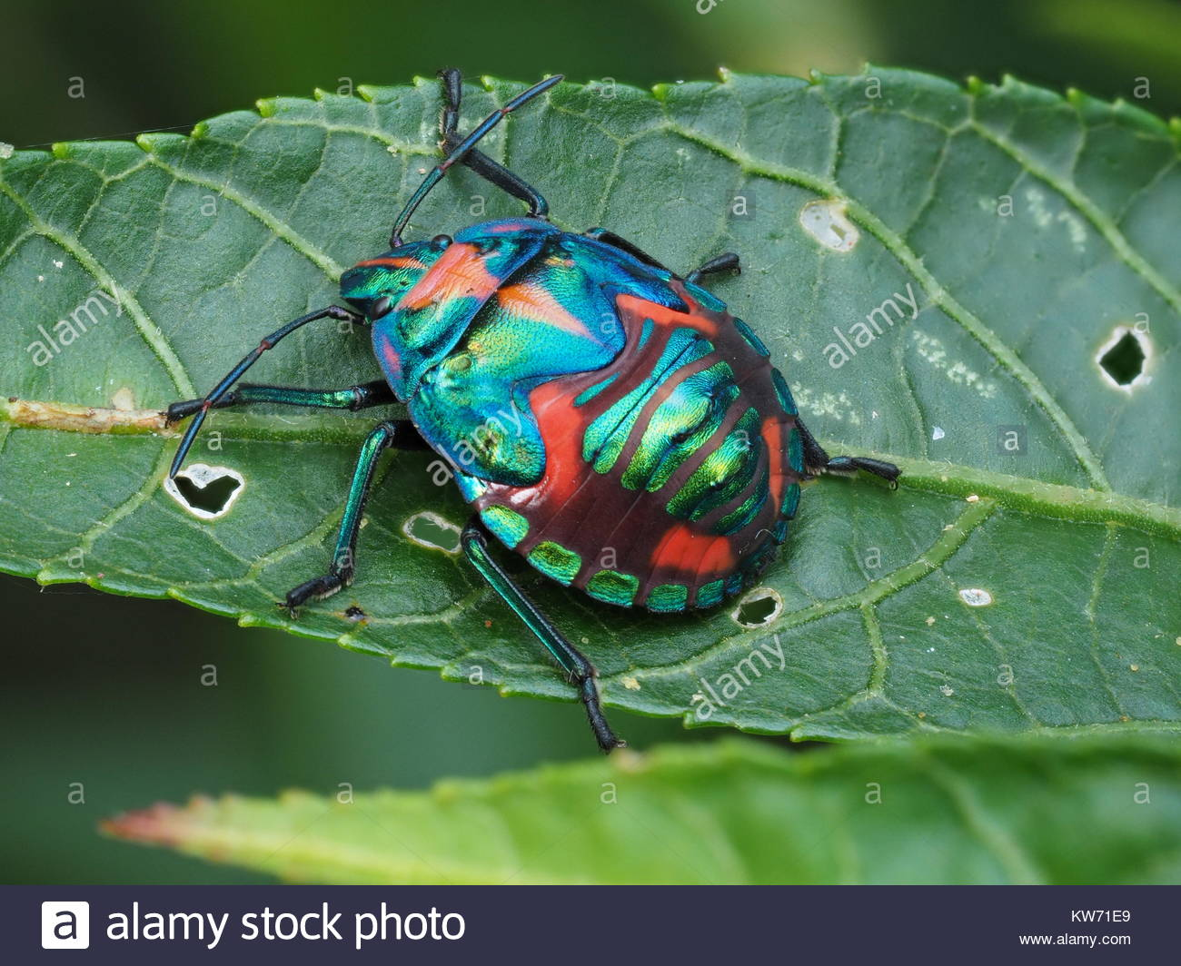 Coloutful Bugs In A Hibiscus Tree Stock Photo 170414561 Alamy