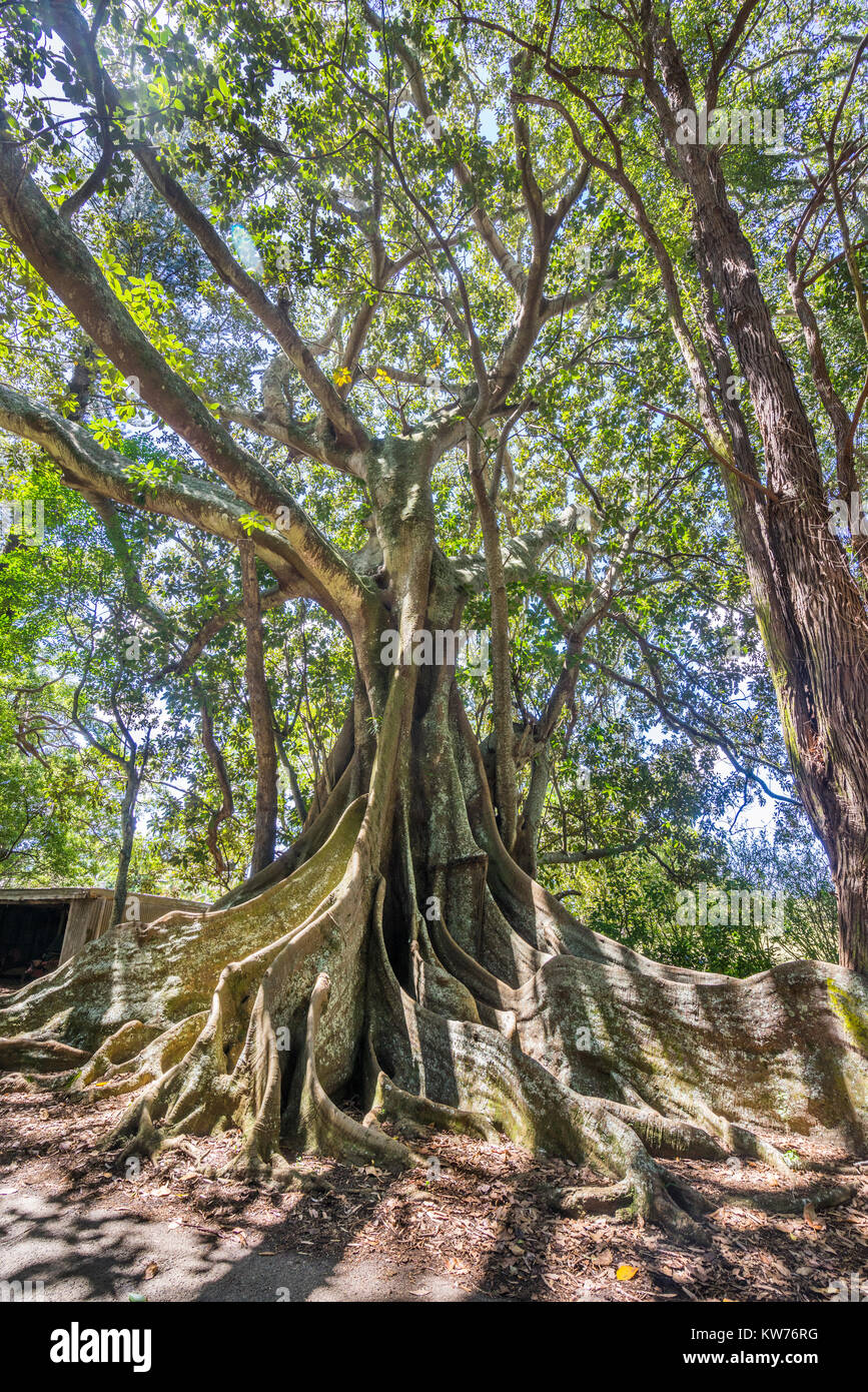 Norfolk Island, Australian external territory, giant Moreton Bay Fig Trees at New Farm Road - Stock Image