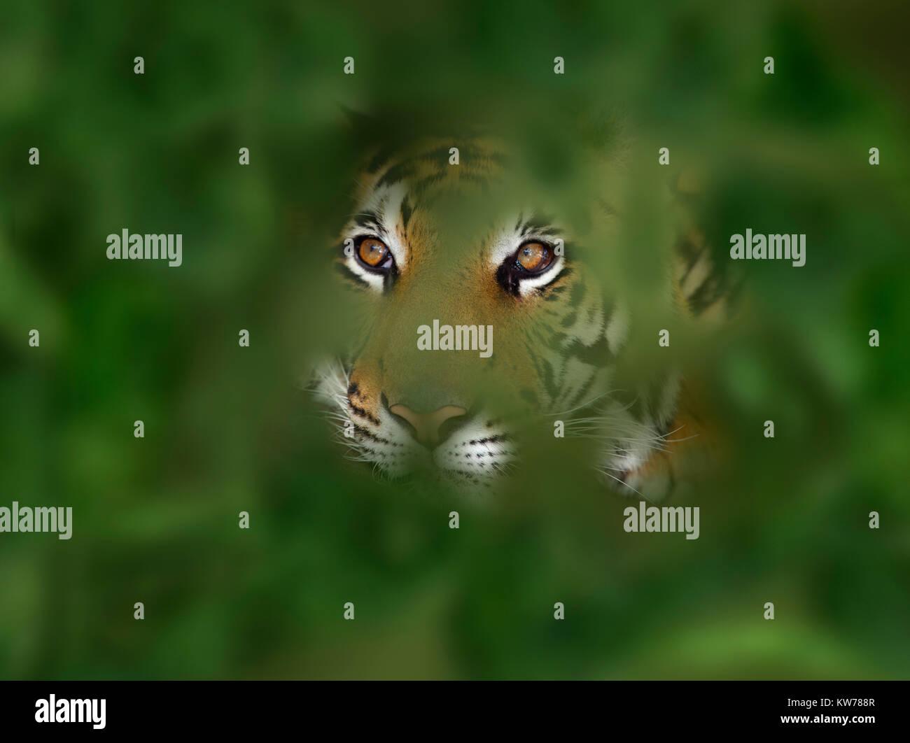Bengal Tiger Panthera tigris tigris - Stock Image