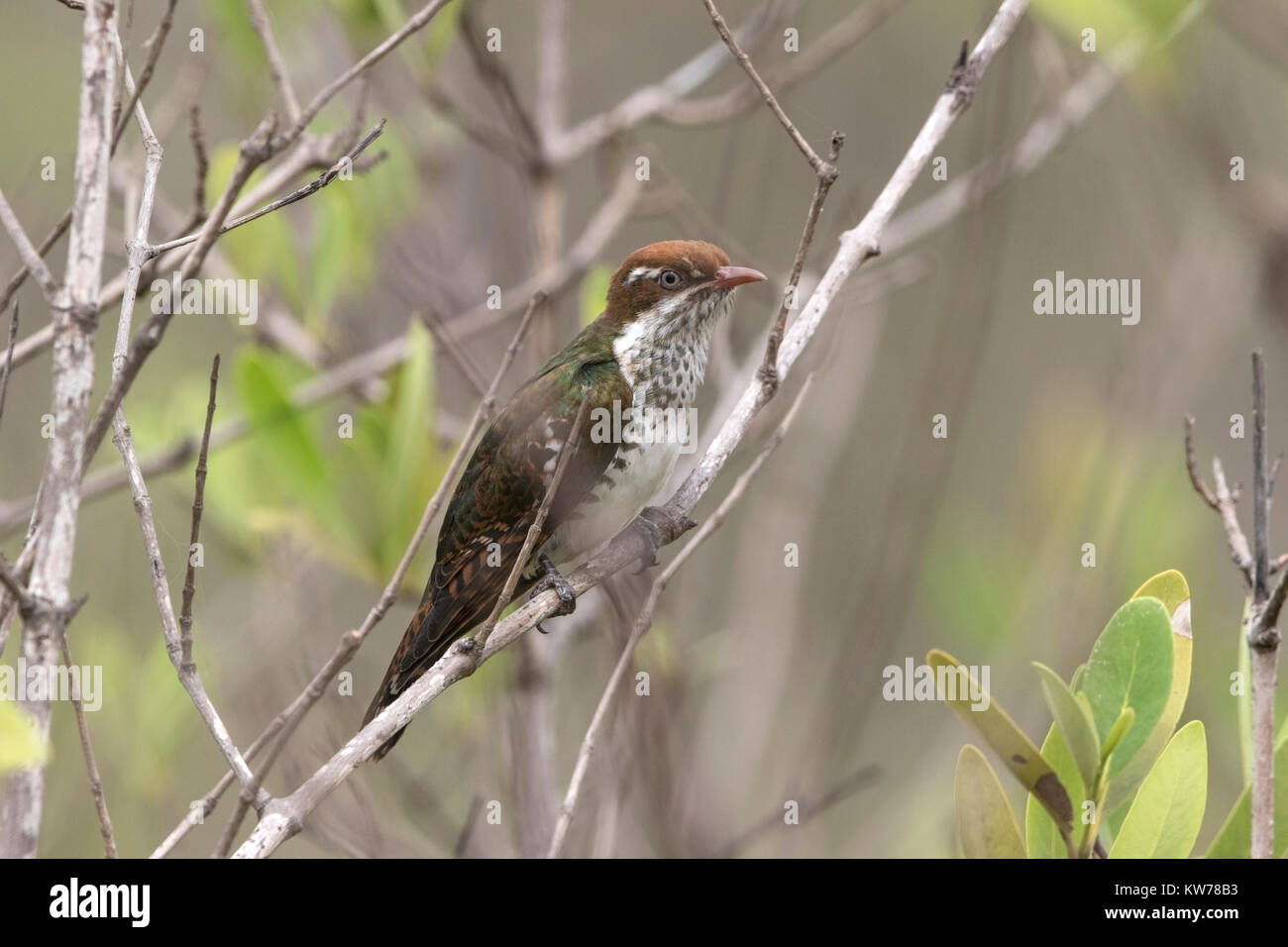 juvenile diederik cuckoo (Chrysococcyx caprius) perched on branch in mangroves, Gambia, west Africa - Stock Image