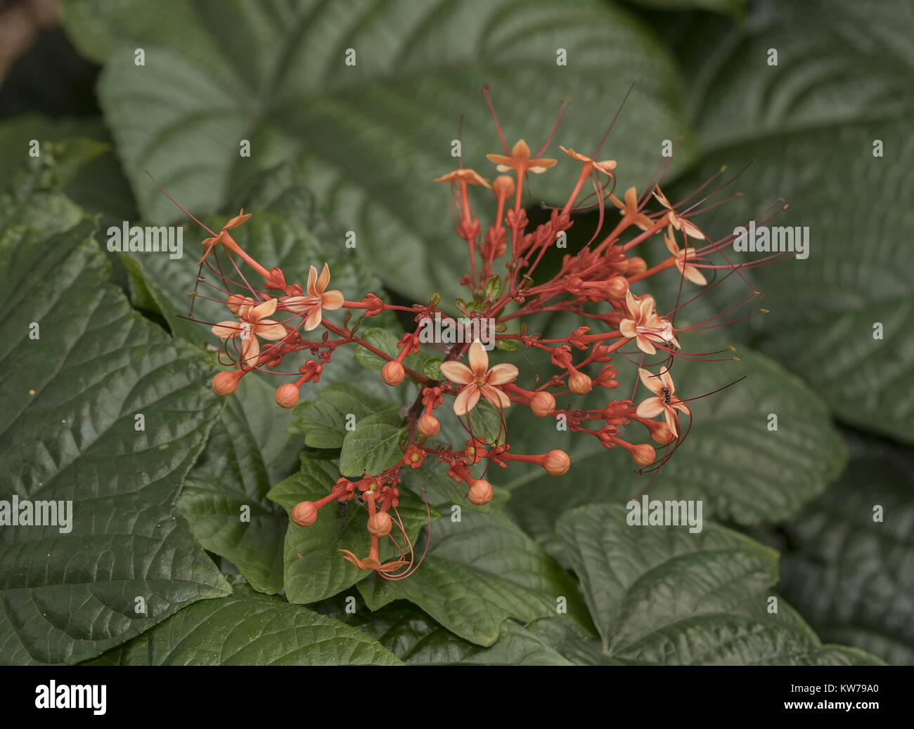 Javanese Glorybower, Clerodendrum speciosissimum, Indonesia. Widely planted and naturalised. - Stock Image
