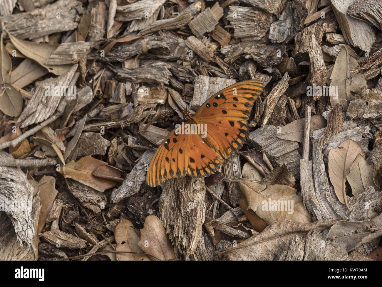 Gulf fritillary, Agraulis vanillae, basking on wood chippings in cool weather. Florida. - Stock Image