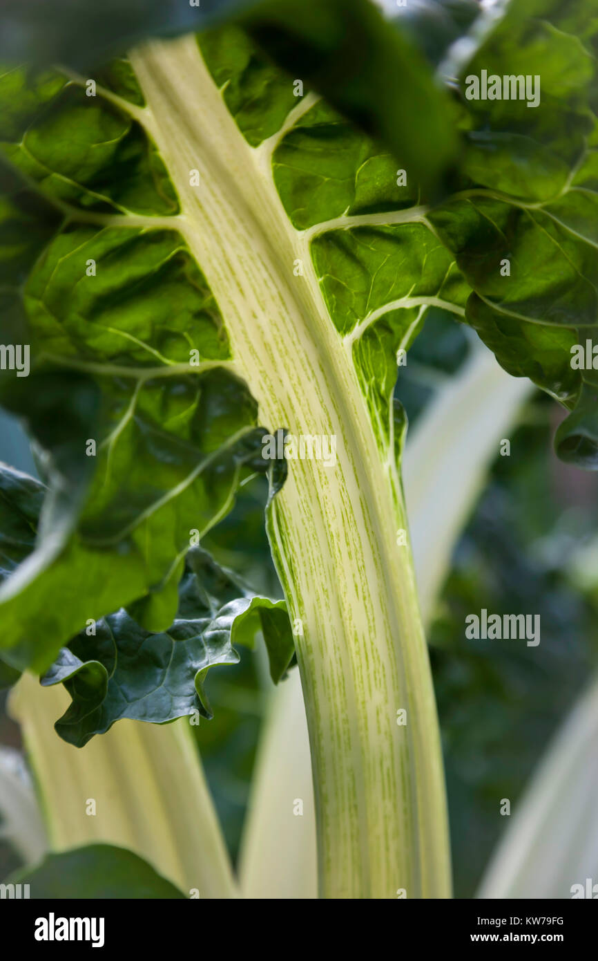 Swiss chard growing in the gardens at Brobury House Herefordshire - Stock Image