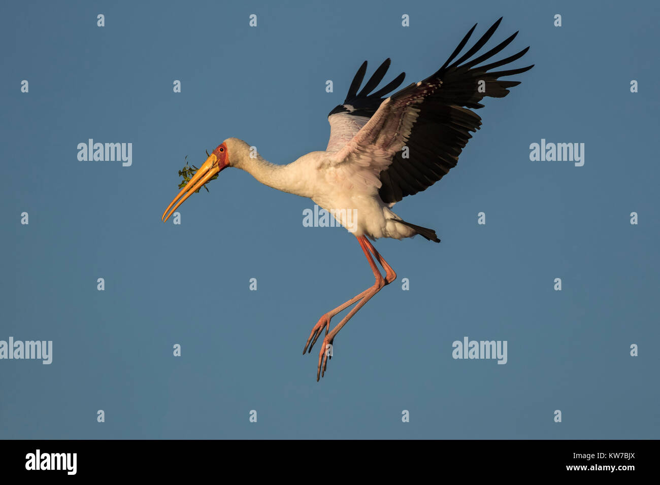 Yellowbilled stork (Mycteria ibis) carrying nesting material, Chobe river, Botswana, Africa, June 2017 - Stock Image