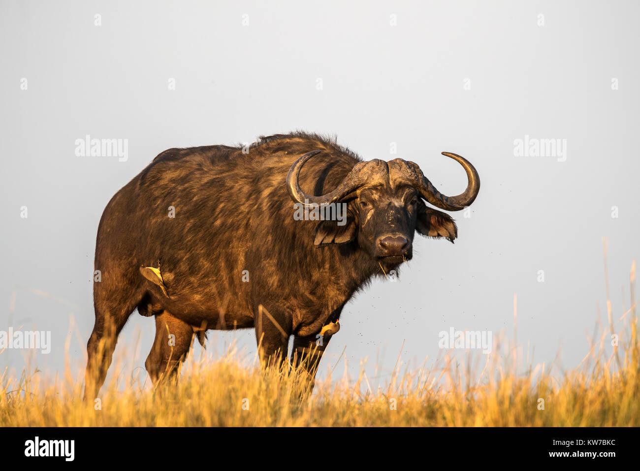 Cape buffalo (Syncerus caffer), Chobe river, Botswana, June 2017 Stock Photo
