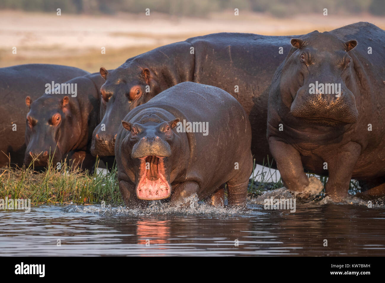 Hippos (Hippopotamus amphibius), Chobe river, Botswana, September 2017 - Stock Image