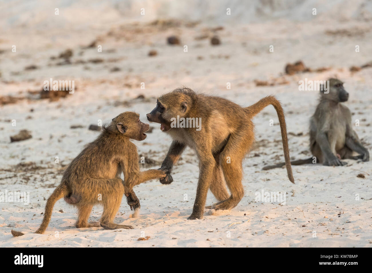 Chacma baboons (Papio ursinus) in social play, Chobe national park, Botswana, Africa, September 2017 - Stock Image