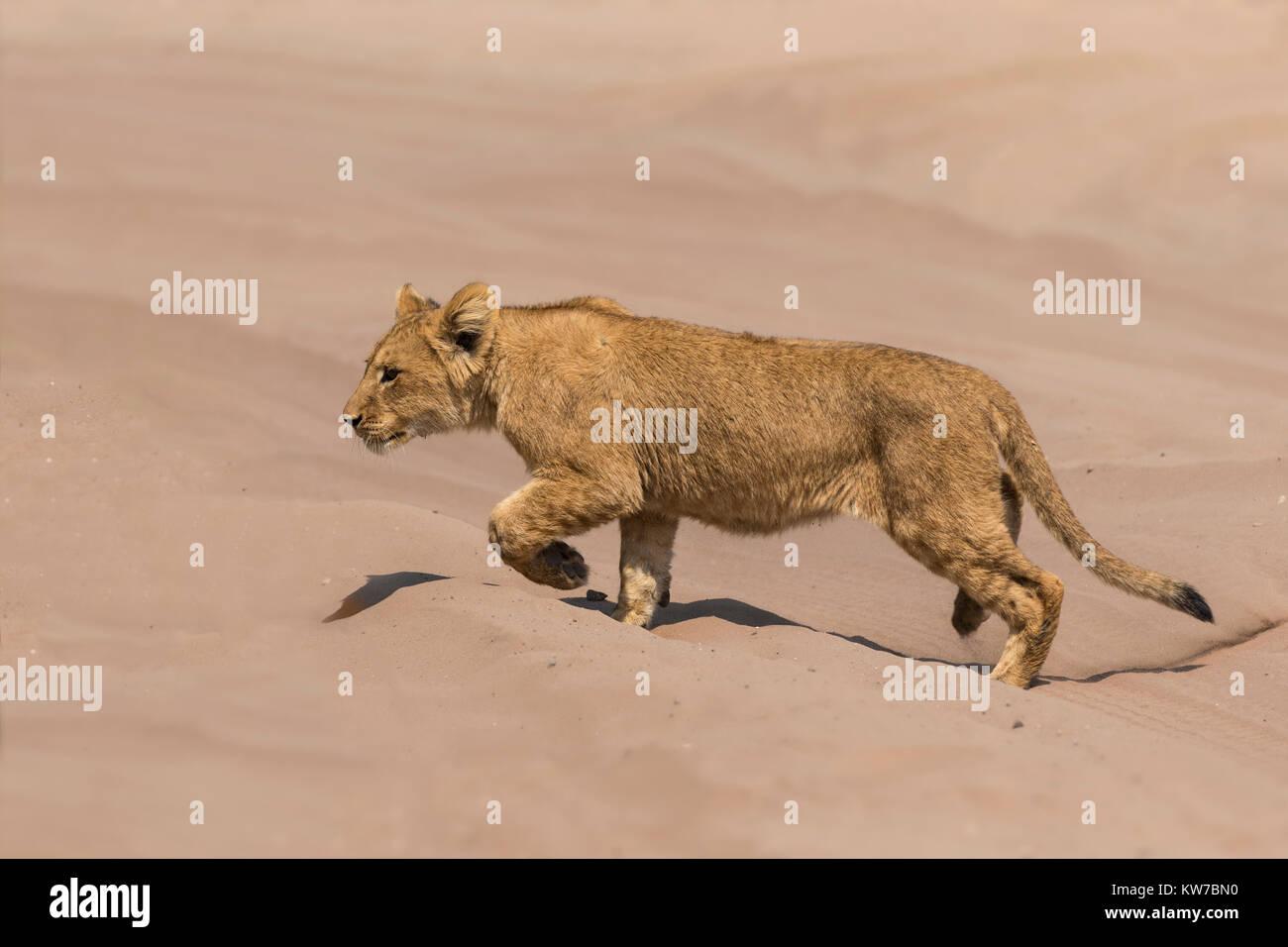 Lion (Panthera leo) cub, Chobe National Park, Botswana, September 2017 - Stock Image