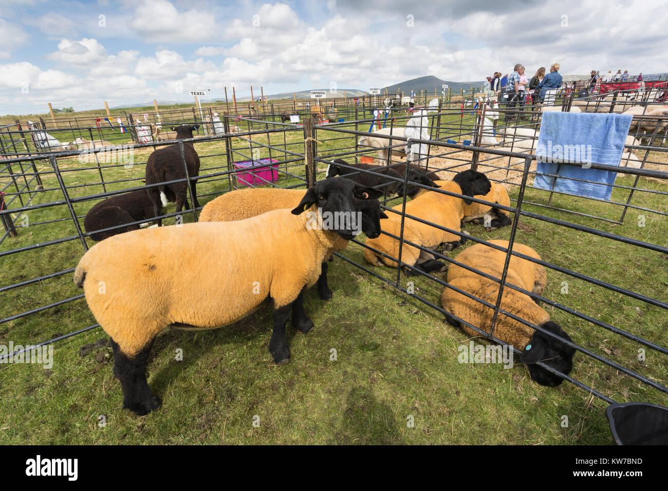Suffolk sheep in pen, Appleby show, Appleby-in-Westmorland, Cumbria, August 2017 - Stock Image