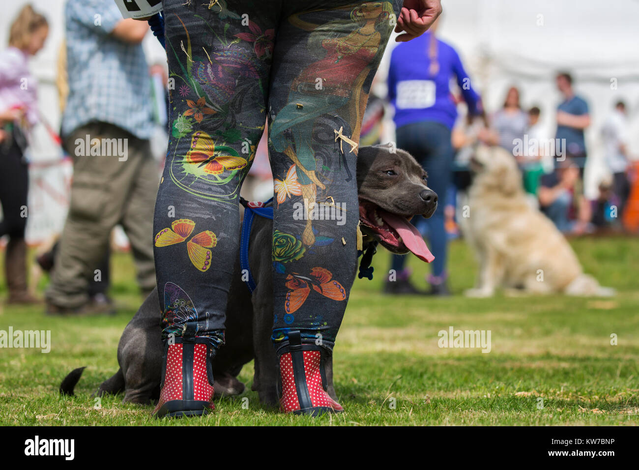 Dog show at Appleby show, Appleby-in-Westmorland, Cumbria, August 2017 - Stock Image