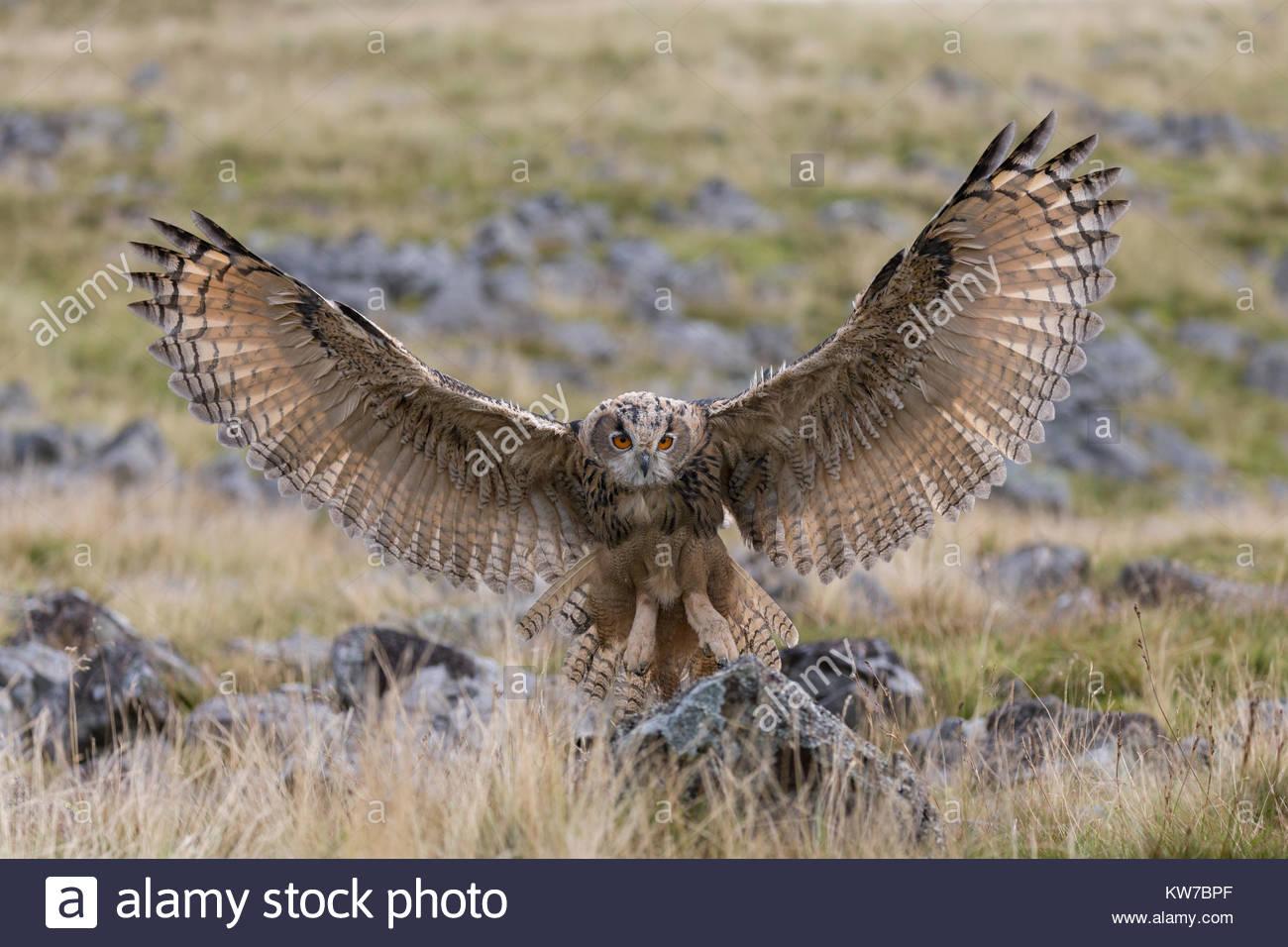European (Eurasian) eagle owl (Bubo bubo) juvenile in flight, captive, Cumbria, UK, August 2017 - Stock Image