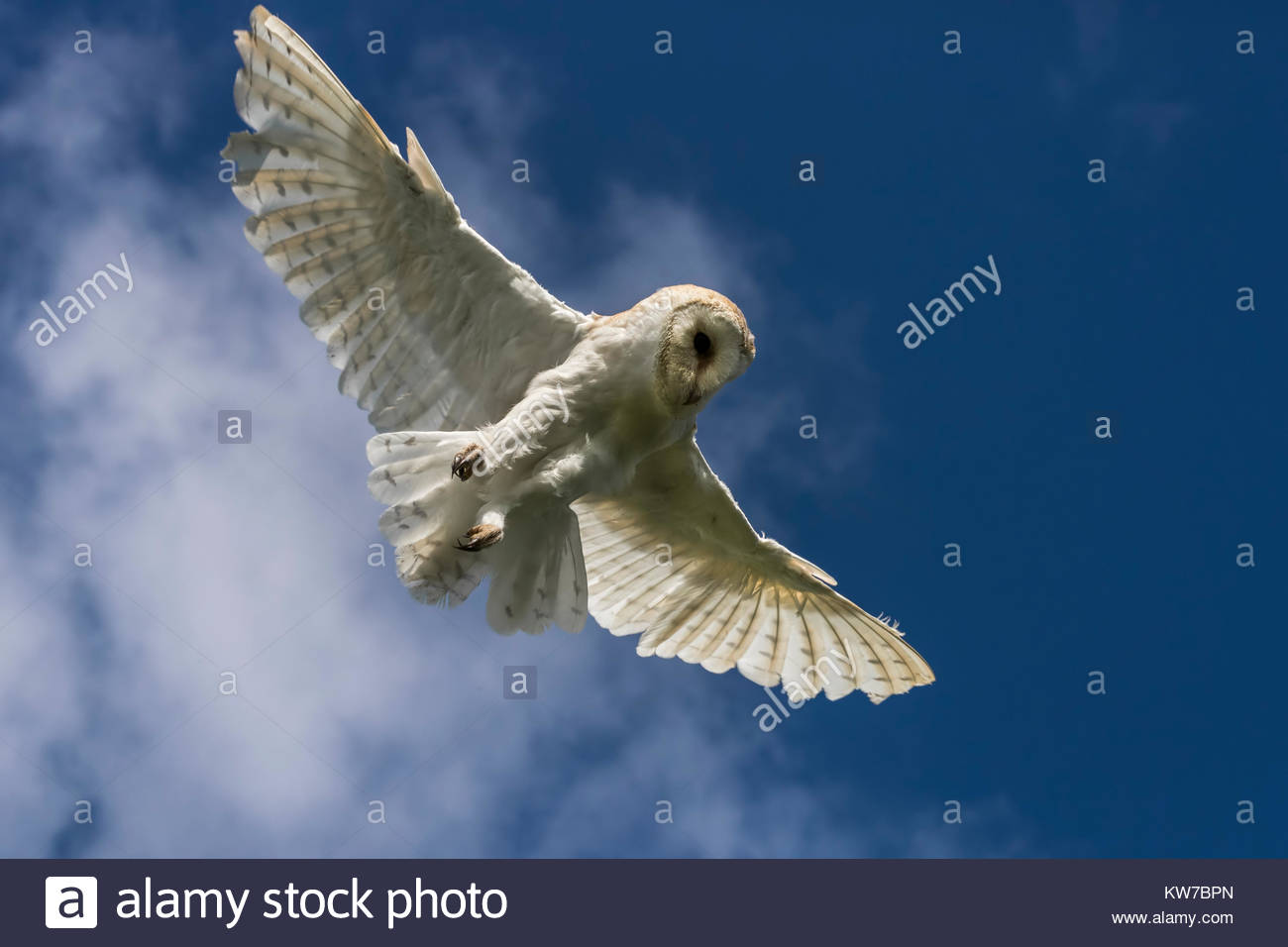Barn owl (Tyto alba), captive, Cumbria, UK, August 2017 - Stock Image