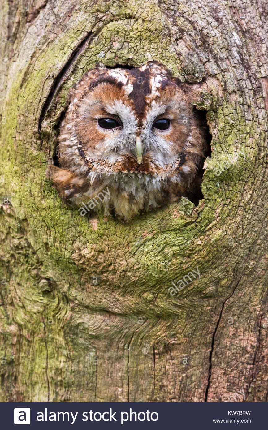 Tawny owl (Strix aluco), captive, UK, August 2016 - Stock Image
