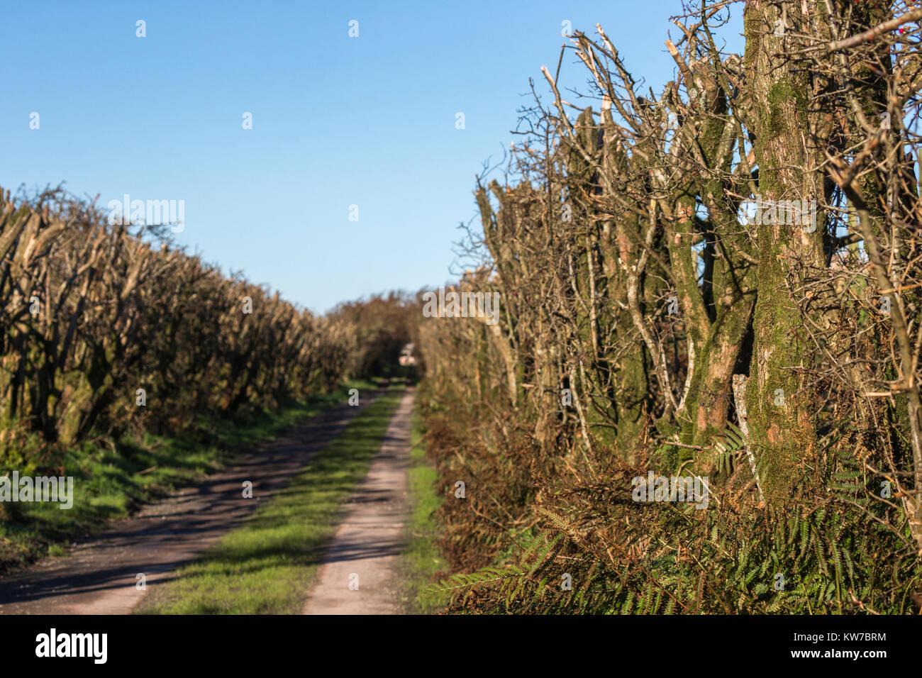 Hawthorn (Crataegus monogyna) cut to maintain as hedge, Caerlaverock Wildfowl and Wetland Trust reserve, Dumfries - Stock Image