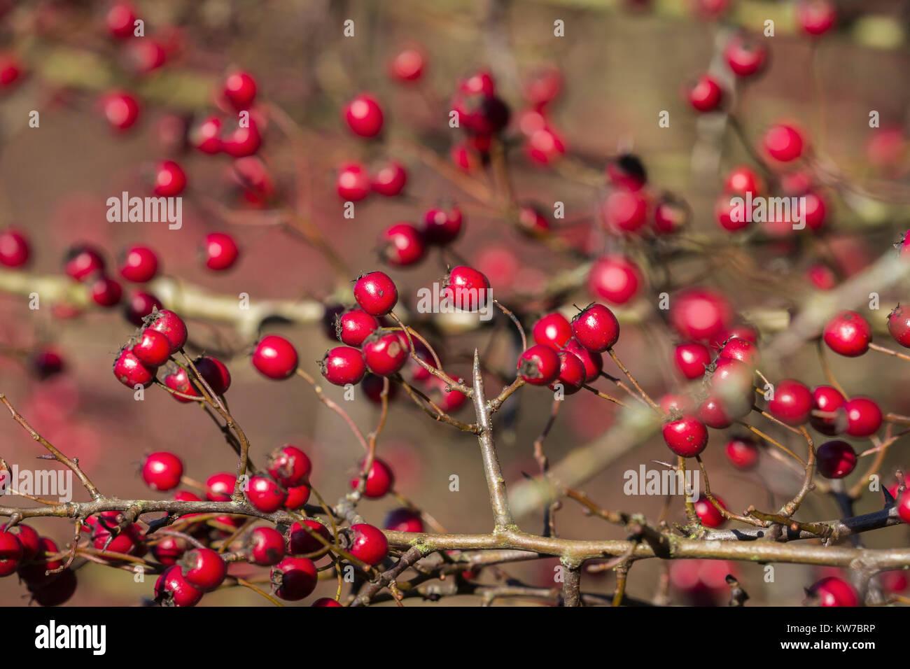 Hawthorn (Crataegus monogyna) berries, Caerlaverock Wildfowl and Wetland Trust reserve, Dumfries & Galloway, - Stock Image