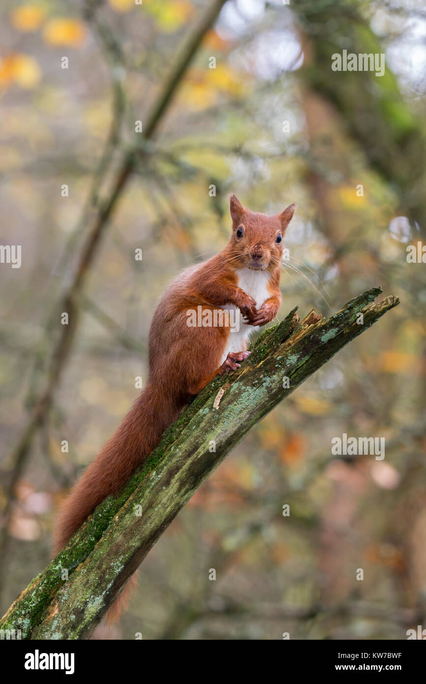 Red squirrel (Sciurus vulgaris), Eskrigg nature reserve, Lockerbie, Scotland, October 2017 - Stock Image