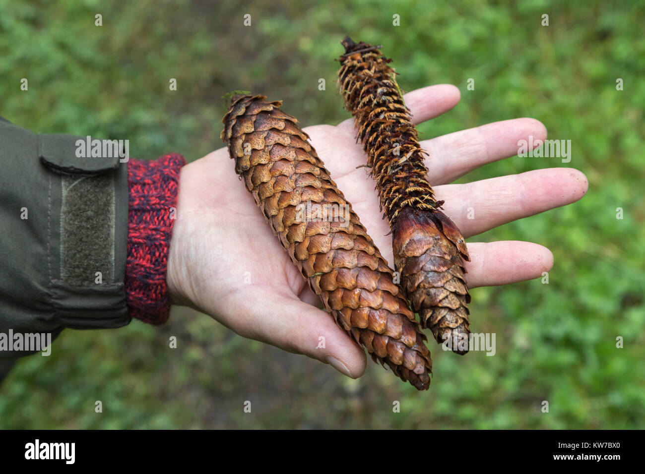 Norway spruce cones (Picea abies) showing one eaten by red squirrel (Sciurus vulgaris), Kielder Forest, Northumberland, - Stock Image