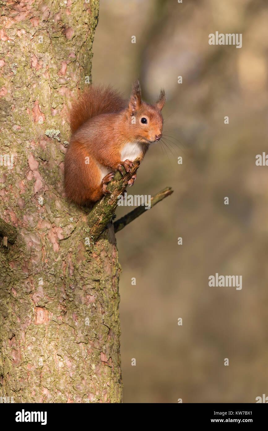 Red squirrel (Sciurus vulgaris), Eskrigg nature reserve, Lockerbie, Scotland, December 2016 - Stock Image