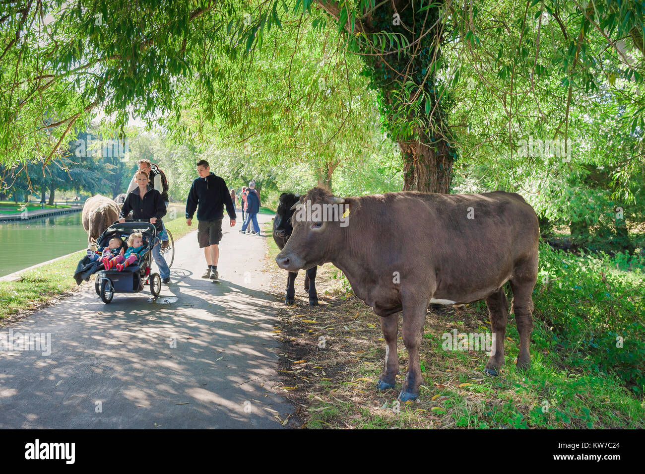 Cambridge UK summer, a young family walking beside the River Cam pass cattle roaming in the Backs (water meadows) - Stock Image