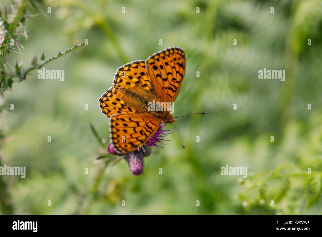 Dark Green Fritillary Butterfly; Argynnis aglaja Single on Flower Cumbria; UK - Stock Image
