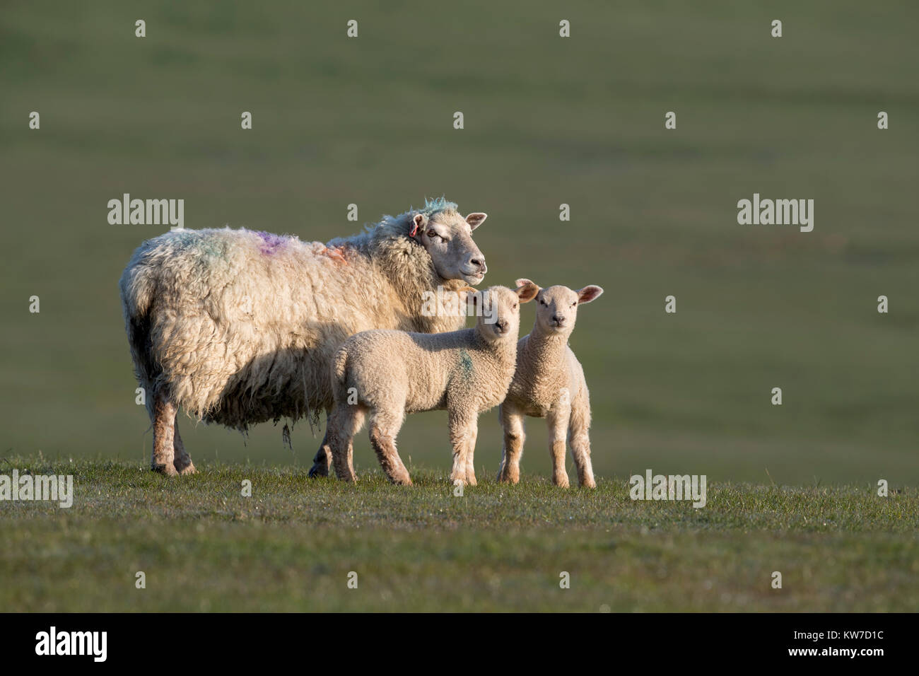 Sheep; Ewe and Lambs Newton; Lancashire; UK - Stock Image