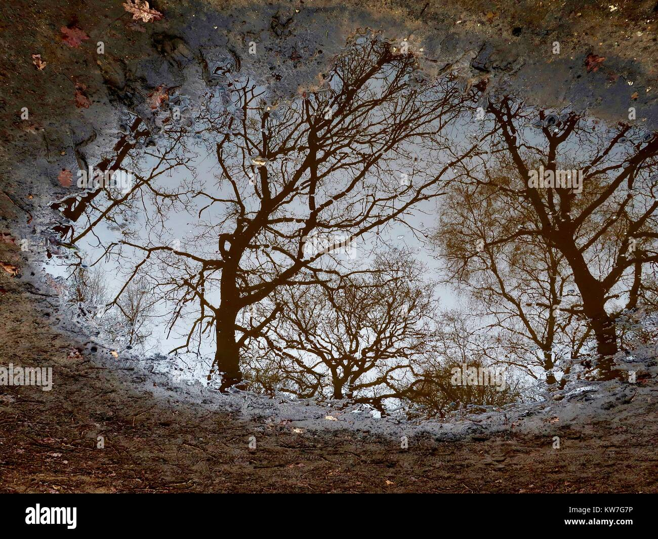 UK Weather: Winter trees reflected in a puddle on a damp and overcast New Year's Day in Kesgrave, Suffolk. - Stock Image