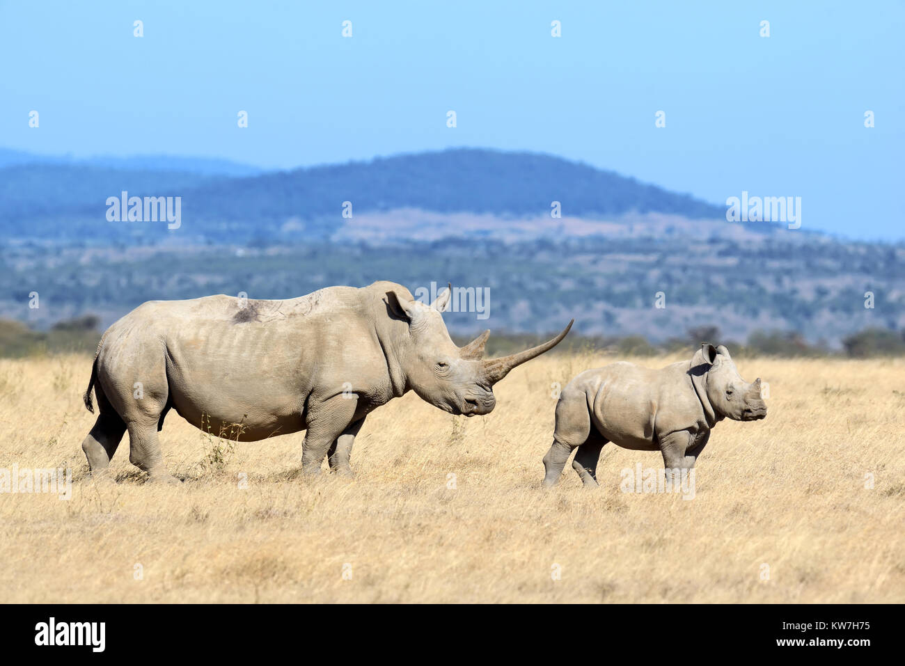 African white rhino, National park of Kenya - Stock Image
