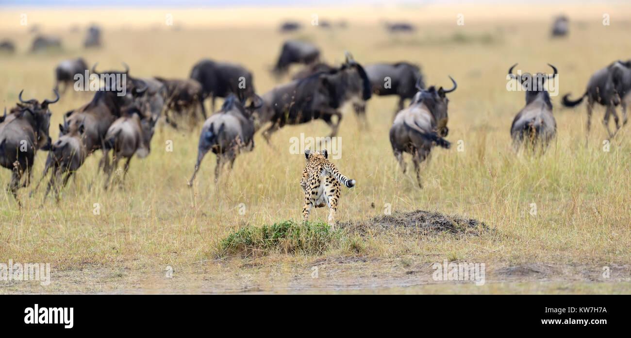 Cheetah (Acinonyx jubatus) pursuit a wildebeest, Masai Mara, Kenya Stock Photo