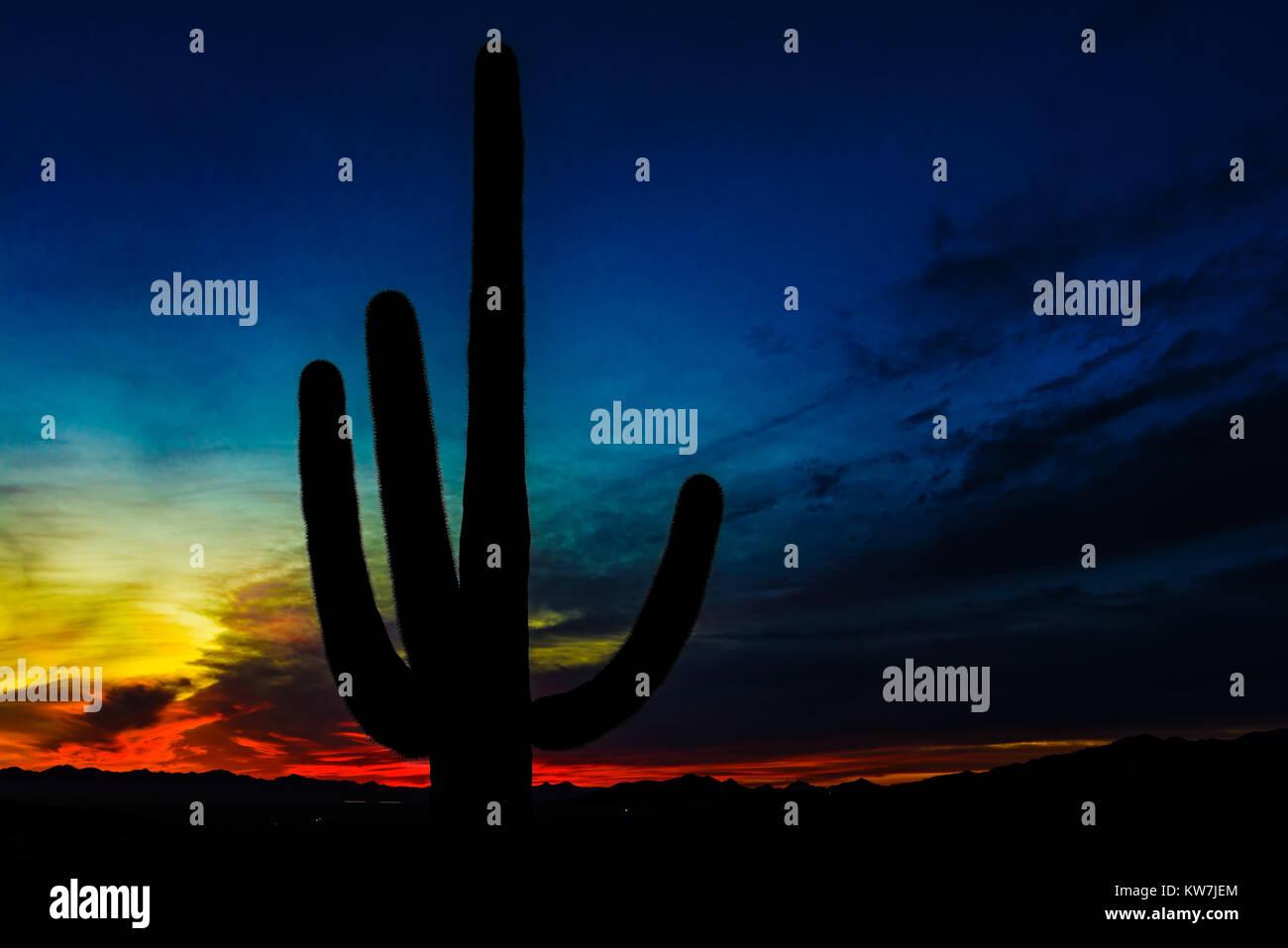 Saguaro cactus (Carnegiea gigantea) in the Saguaro National Park, Arizona, USA Stock Photo