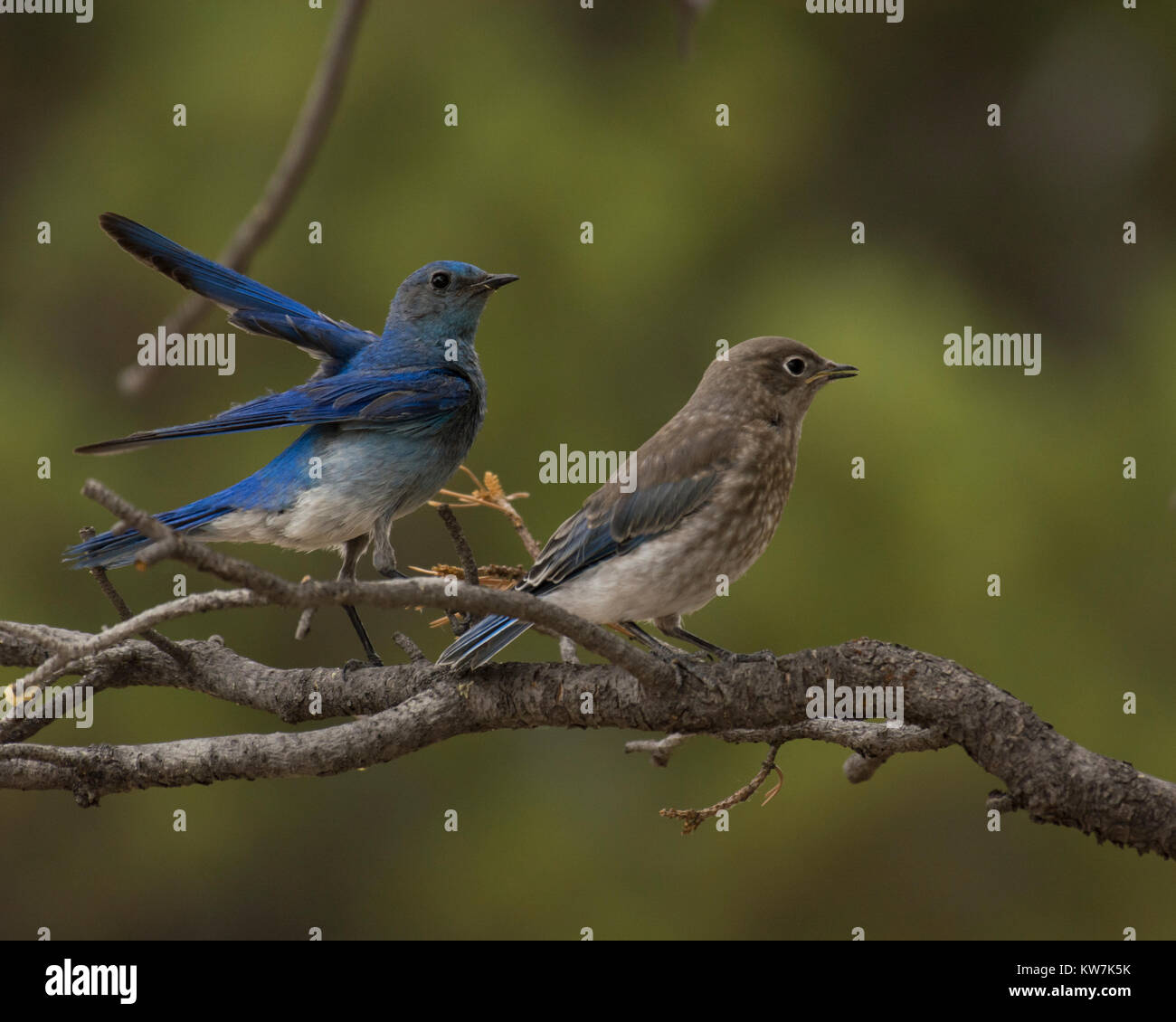Fledgling Bluebird Stock Photos & Fledgling Bluebird Stock Images ...