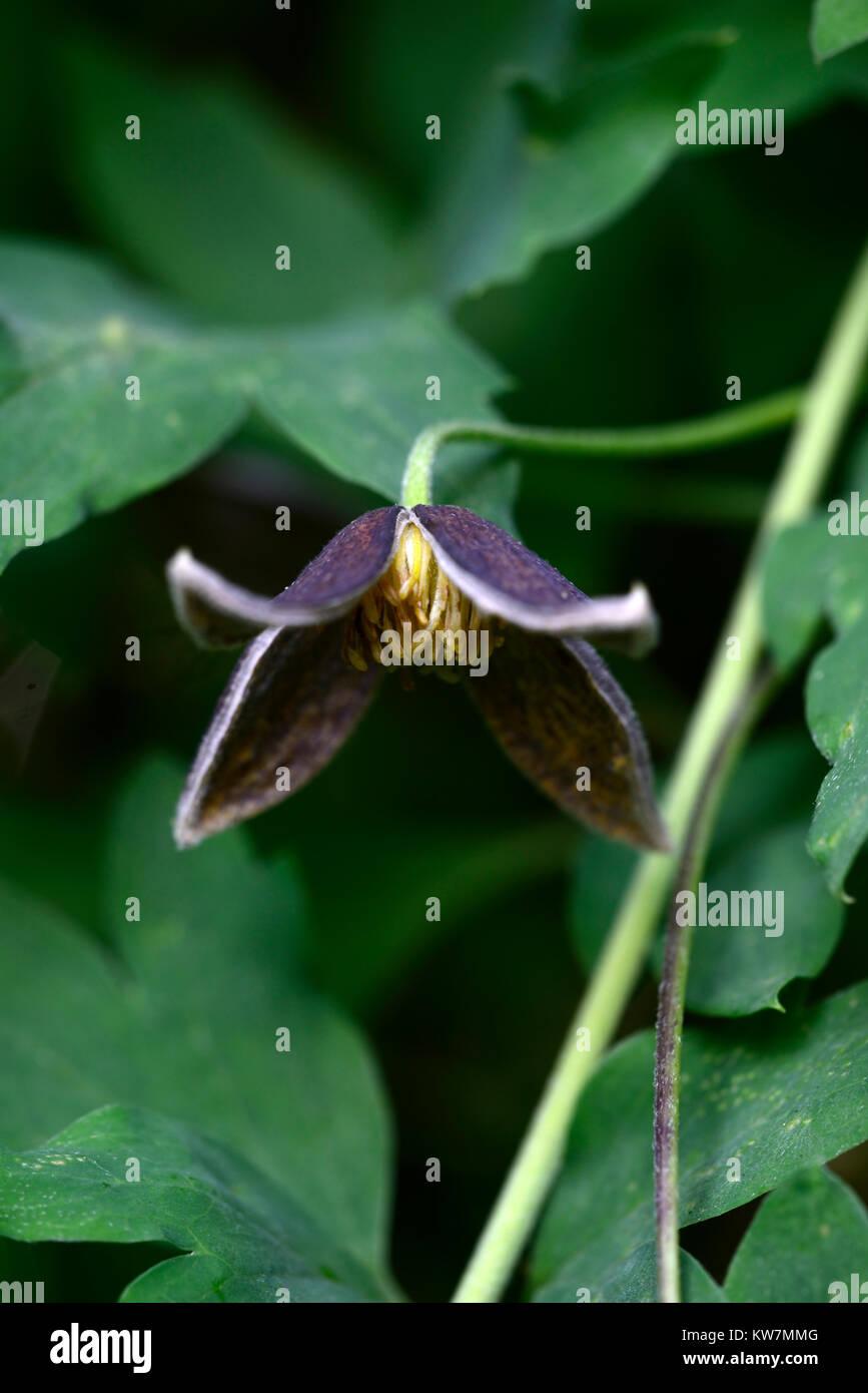Clematis tibetana Black Tibet,dark,black,flowers,flower,flowering,clematis,climber,climbing plant,creeper,garden,RM - Stock Image