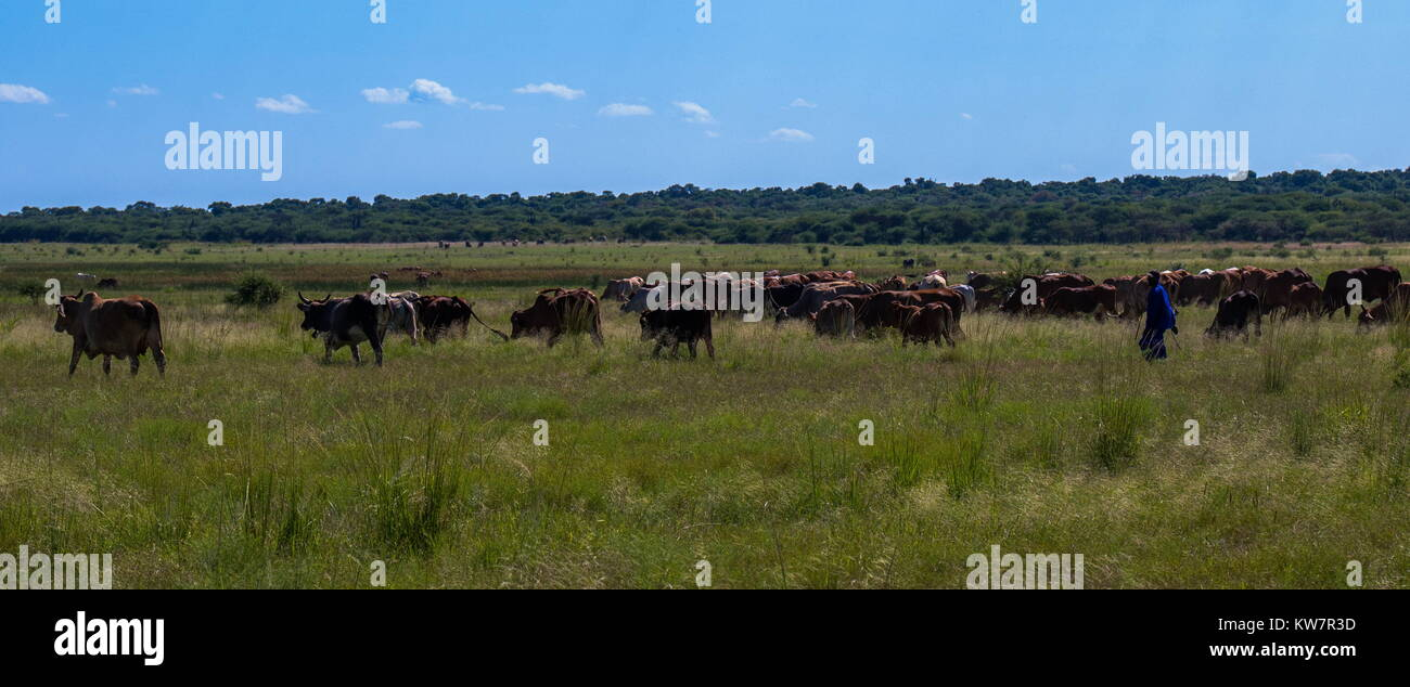 Mkombo, South Africa - unidentified herdsman taking his cattle out to feed and drink, image in landscape format - Stock Image