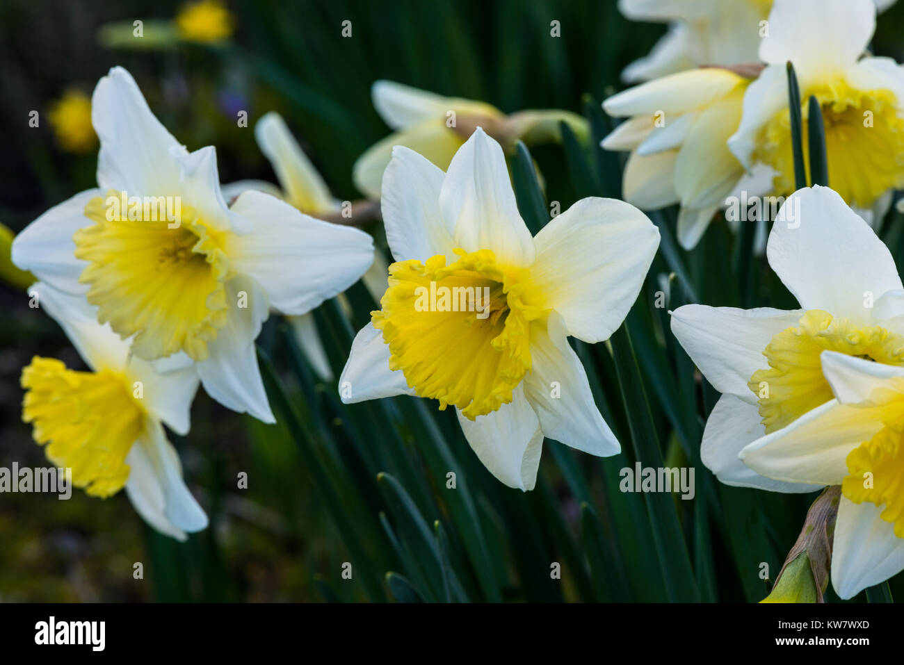 Spring Flower Early Flowering Yellow Flower Daffodil Gardening