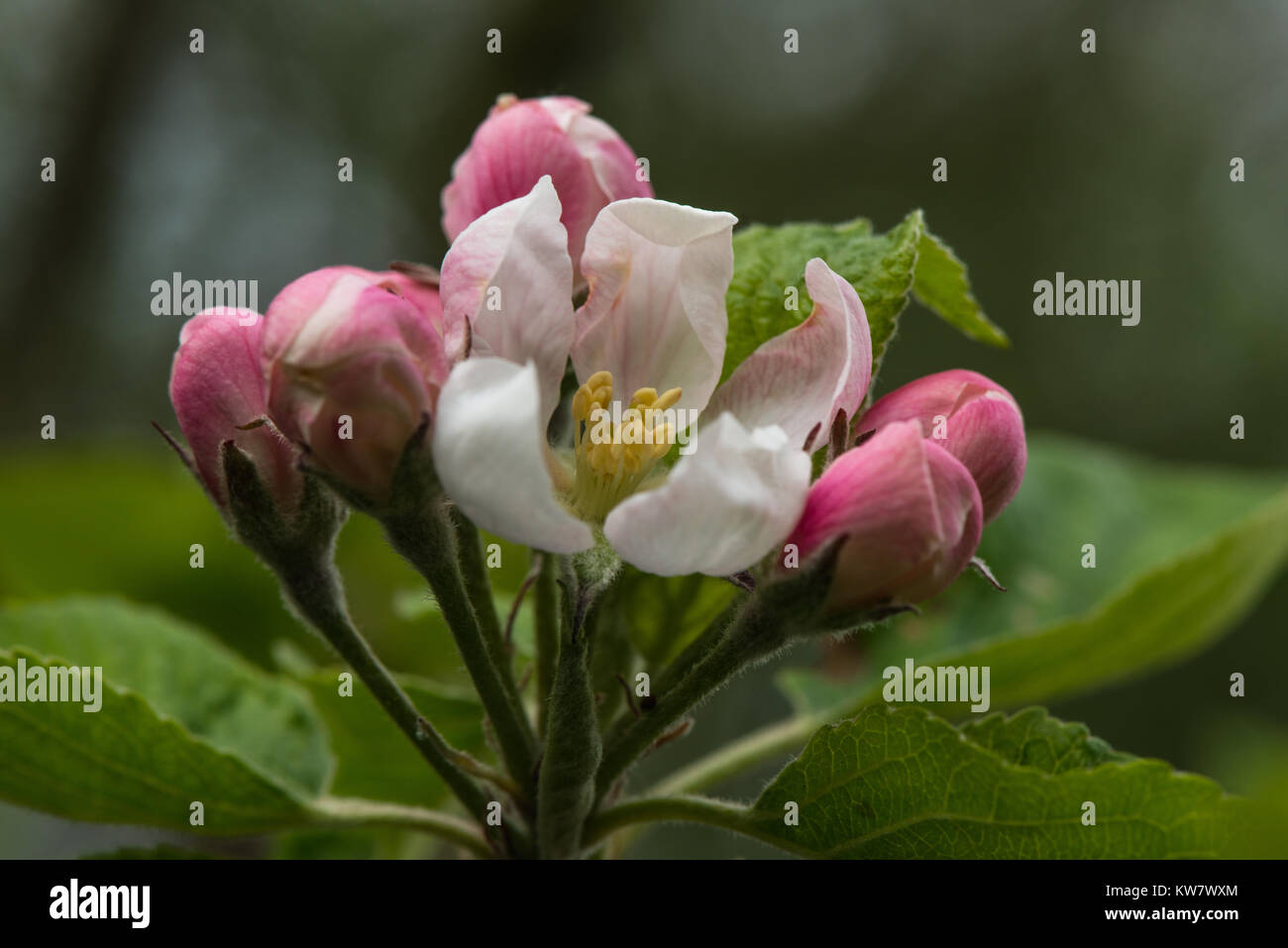 The pink and white spring flowers of a Bramley apple tree in an English garden orchard. - Stock Image