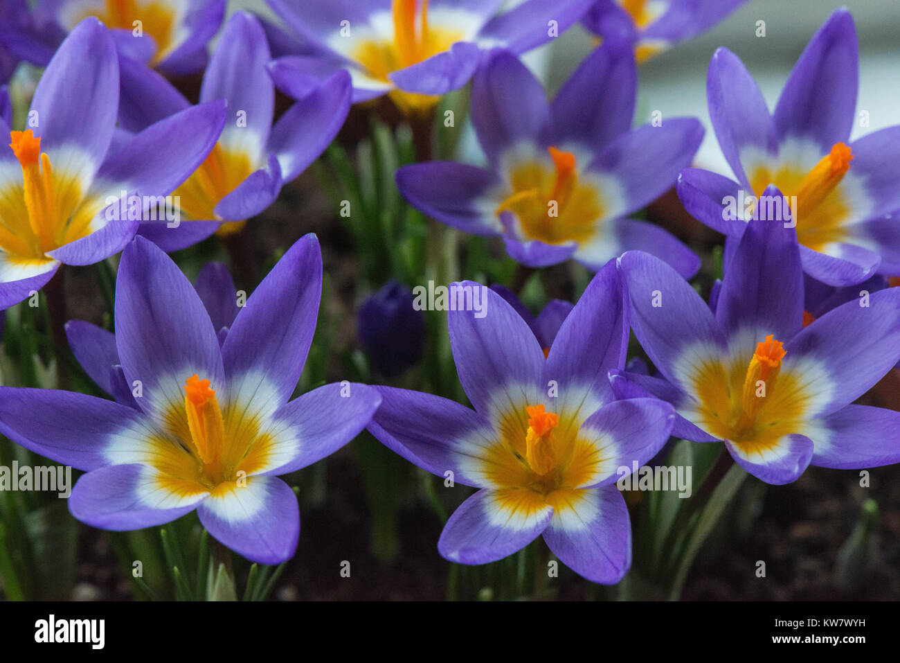 The Lilac And Yellow Early Spring Flowers Of The Crocus In Close Up