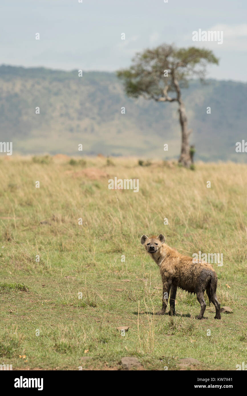Spotted hyena (Crocuta crocuta) on grass with tree and hill in background - Stock Image