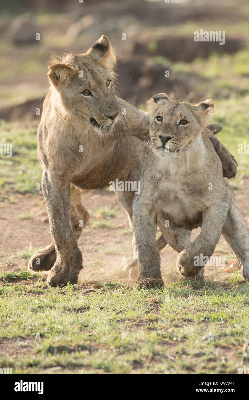 Two lion (Panthera pardus) cubs playing together in the Masai Mara game reserve - Stock Image