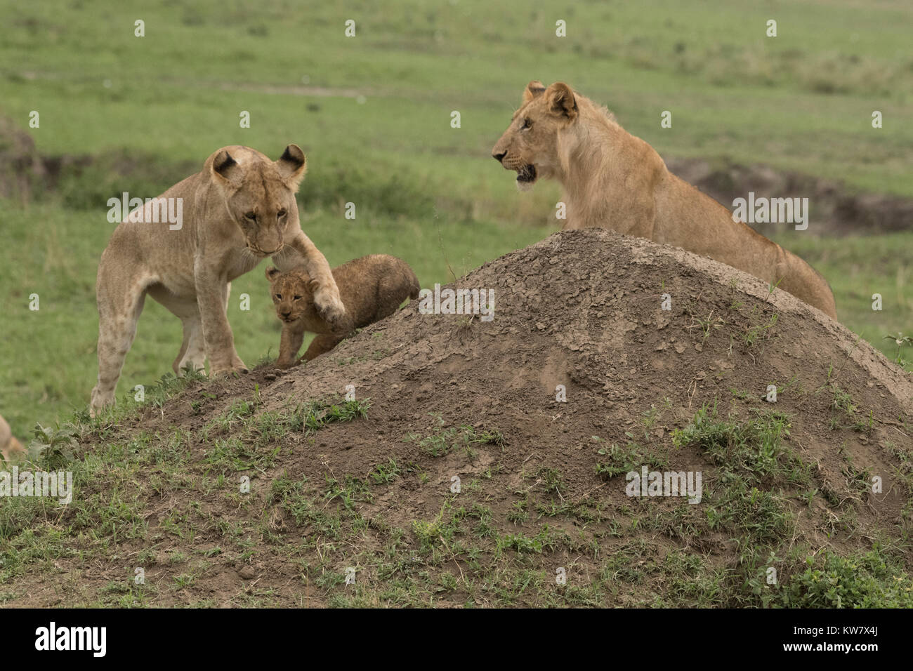 Lioness (Panthera leo) and two cubs playing with each other Stock Photo