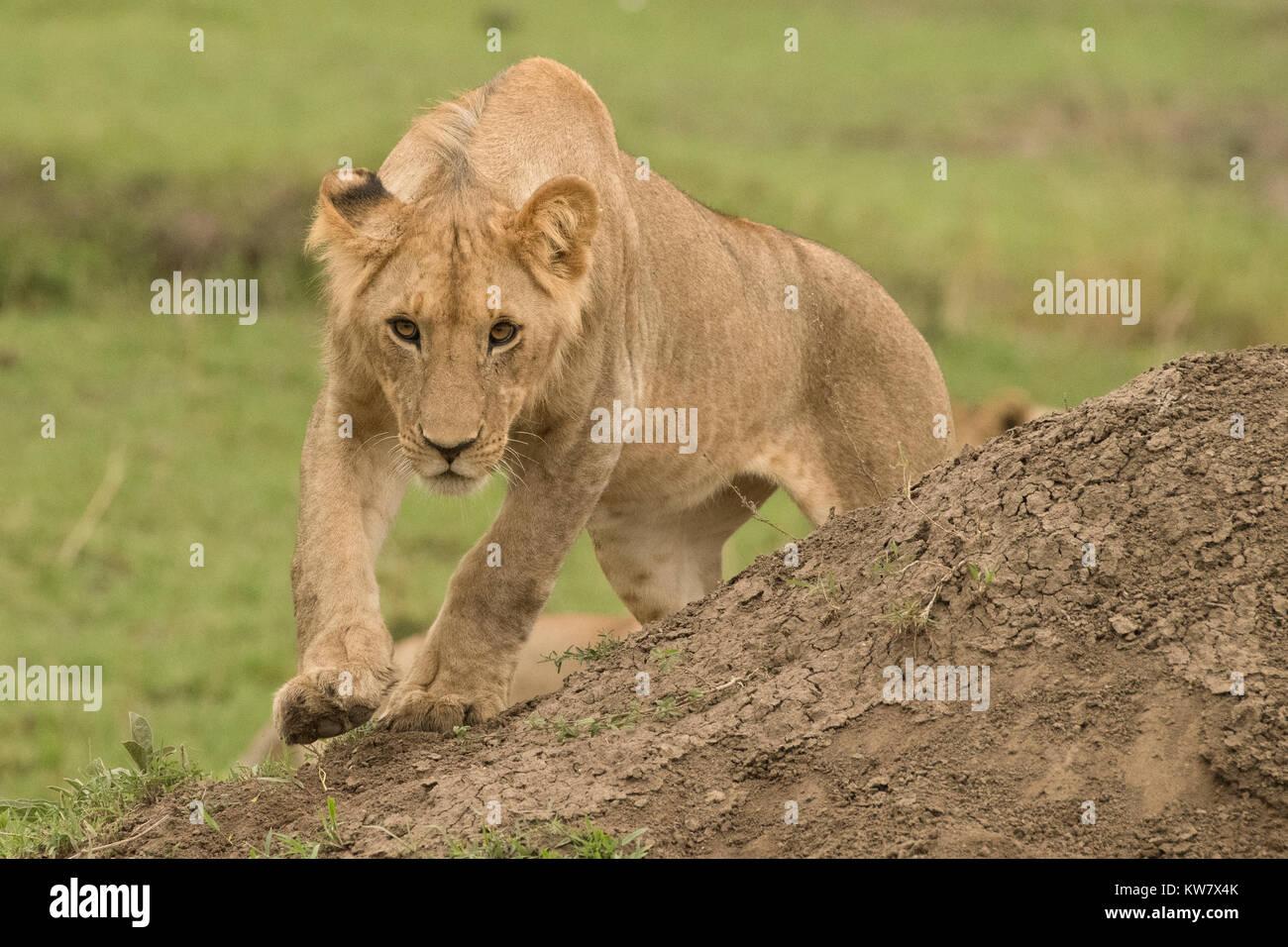 Lion (Panthera leo)  cub about to pounce - Stock Image