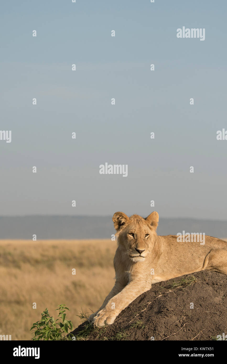 Lion (Panthera leo) cub sitting on a termite mound looking ahead in the Masai Mara game reserve in Kenya - Stock Image