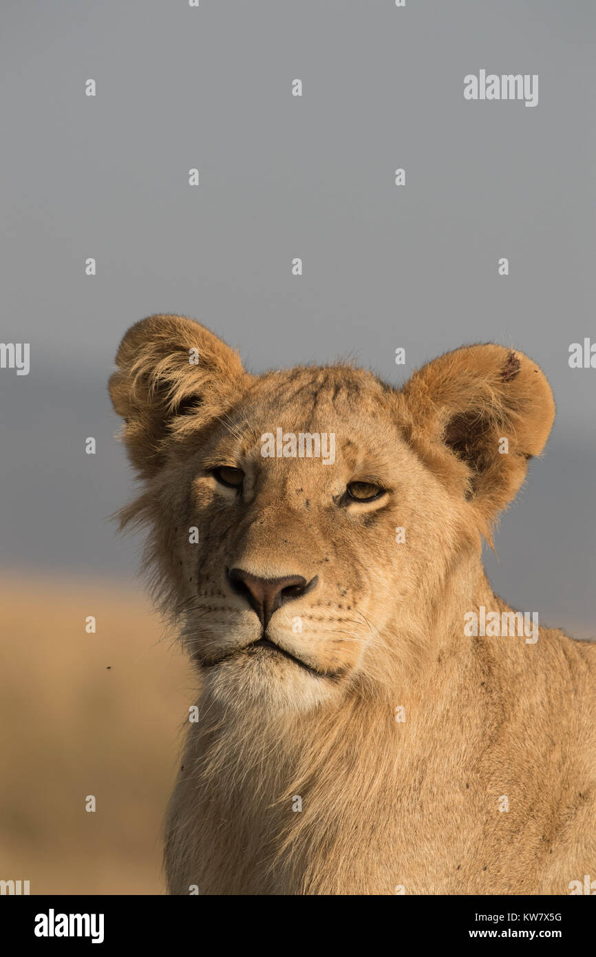 Portrait of a Lion (Panthera leo) cub sitting on a termite mound looking ahead in the Masai Mara game reserve in - Stock Image