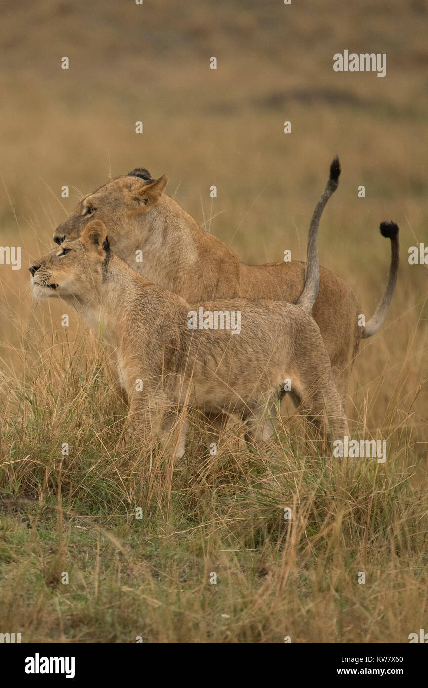 Mother and cub Lions (Panthera leo) nuzzling in the rain in the Masai Mara game reserve in Kenya - Stock Image