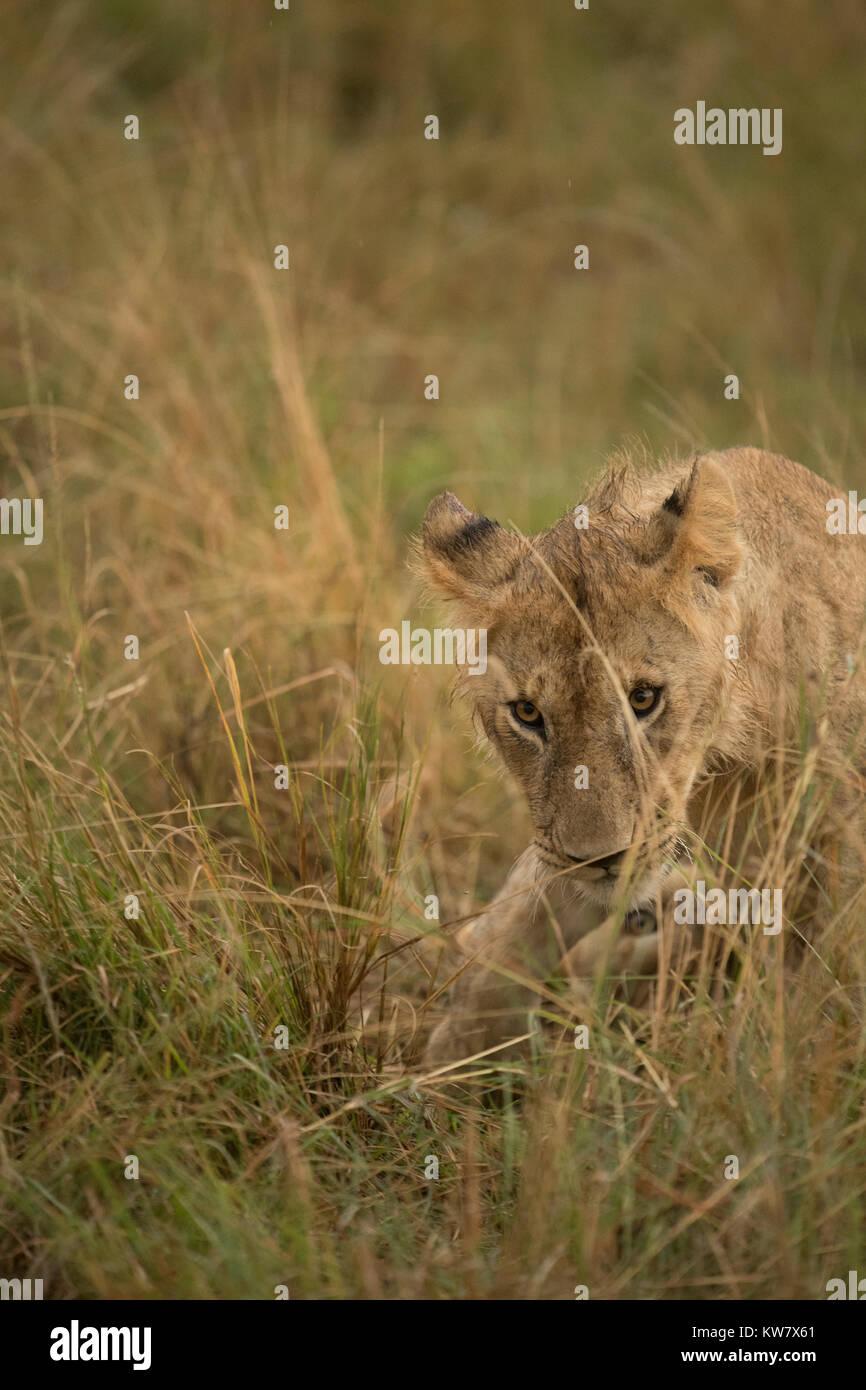 Lion cub (Panthera leo) crouching in the rain in the Masai Mara game reserve in Kenya - Stock Image
