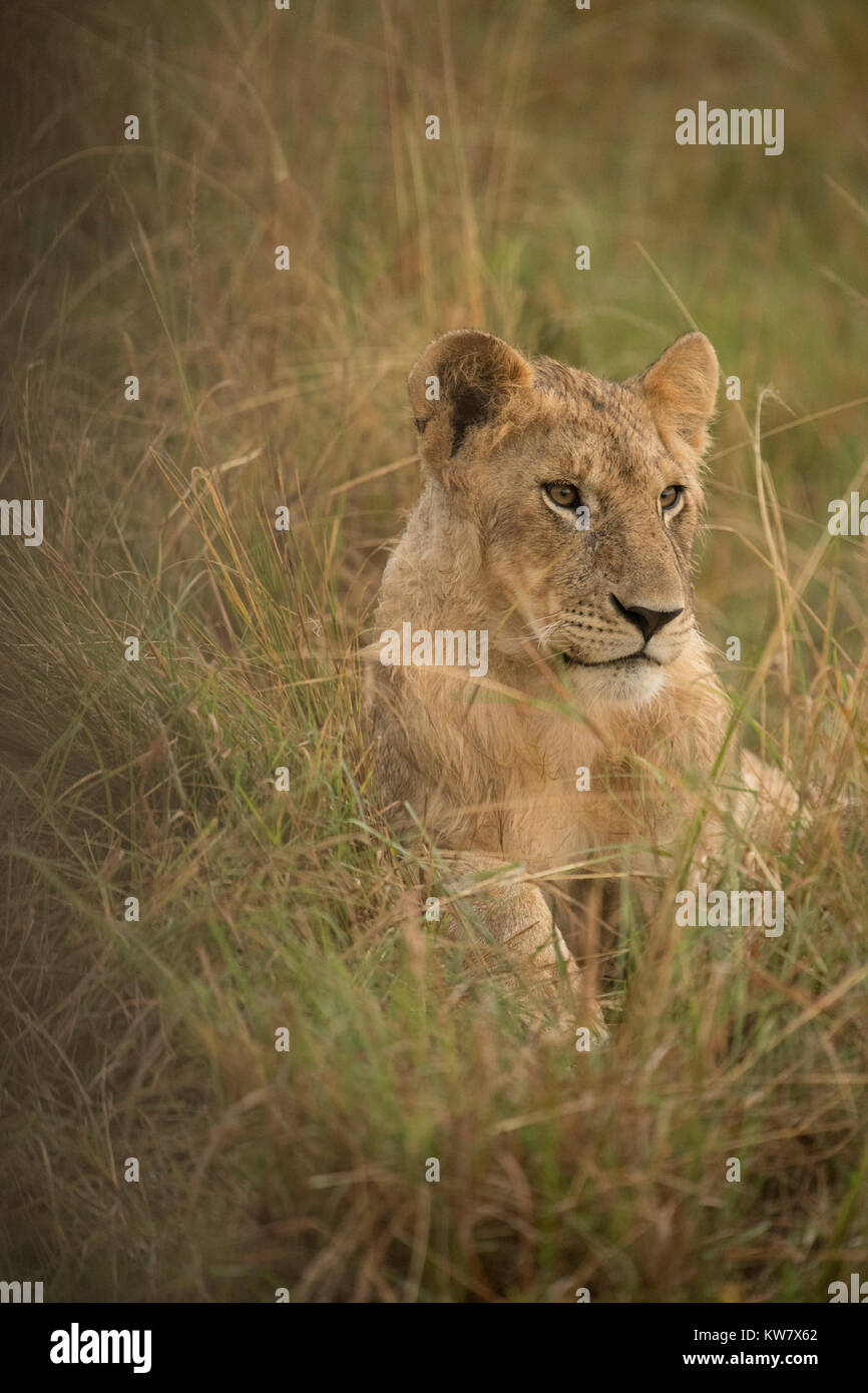 Female Lion (Panthera leo) sitting  in the rain in the Masai Mara game reserve in Kenya - Stock Image