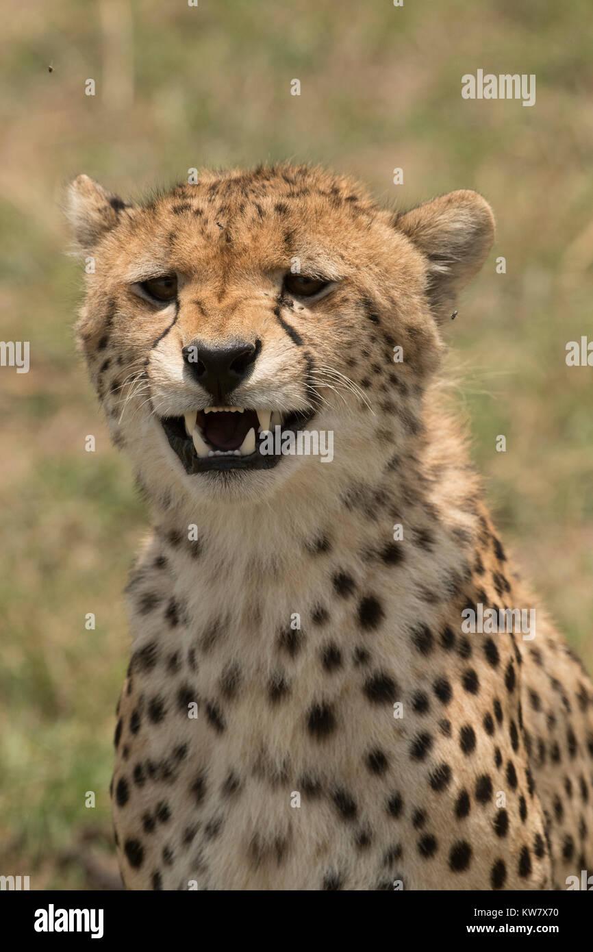 Portrait head shot of an adult female cheetah (Acinonyx jubatus) in the Masai mara - Stock Image